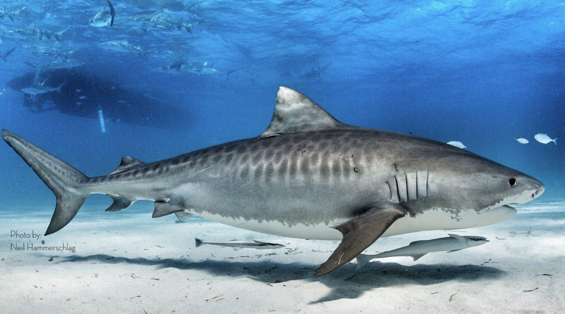 Tiger Shark Research