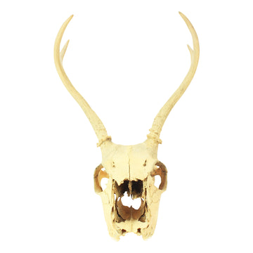 Animal Skull with horns