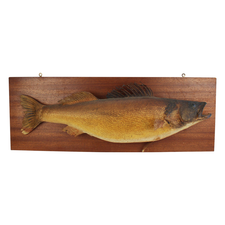 Mounted Walleye