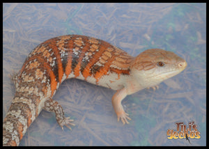 New Blue Tongue Babies available SOON!