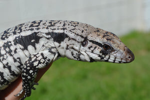 The Tegu Project