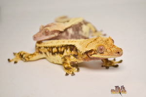 What's new to our Tikis Geckos website