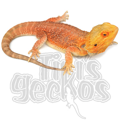 TikisGeckos - Specializing in breeding High End New
