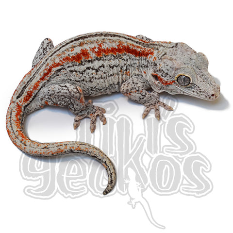TikisGeckos - Specializing in breeding High End New Caledonian Geckos