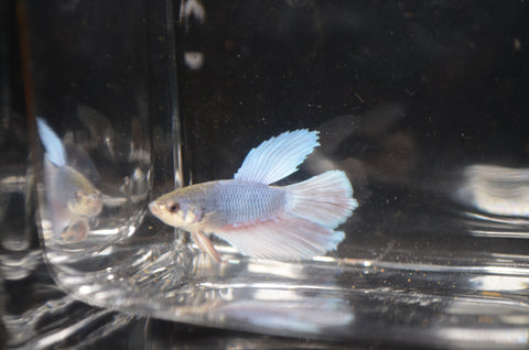 Blue and Red Halfmoon Betta Male