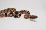 Suriname Red Tail Boa