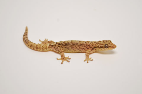 Baby Mourning Gecko