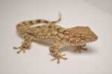 Crocodile Gecko