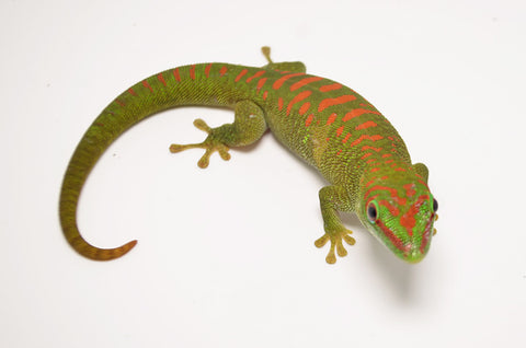 Juvenile Crimson Giant Day Gecko