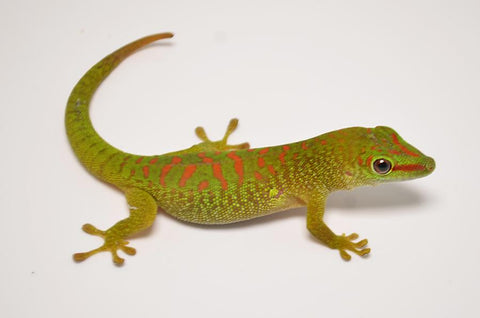Juvenile Giant Day Gecko