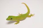 Baby Giant Day Geckos