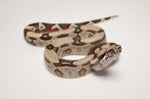Guyana Red Tail Boa Constrictor