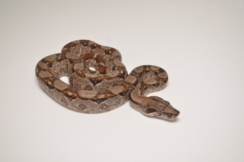 Nicaraguan Red Tail Boa Constrictor