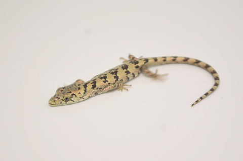 Baby Mixtecan Arboreal Alligator Lizard