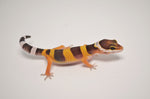 Baby Tangerine Possible Giant Leopard Gecko 100% Het Tremper Albino