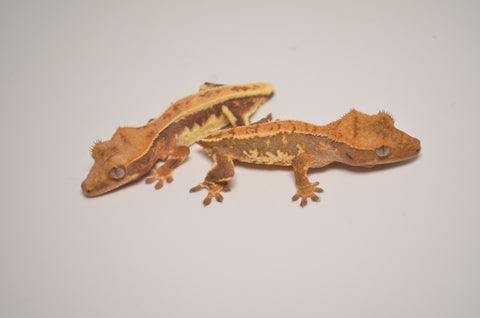 Tailless Baby Lilly White Crested Gecko Special