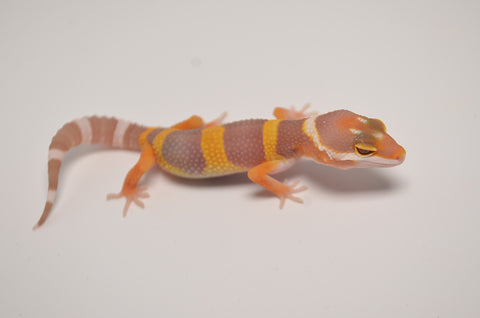 Baby Tangerine Albino Possible Giant Leopard Gecko