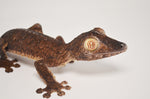 Giant Leaf Tail Gecko