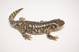 Yellow Barred Tiger Salamander