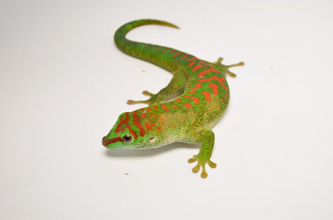 Sub-Adult Crimson Giant Day Gecko