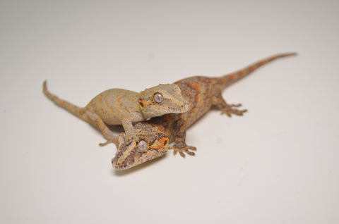 Red/Orange Blotched Baby Gargoyle Gecko Special
