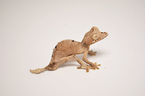 Spear Point Leaf Tailed Gecko