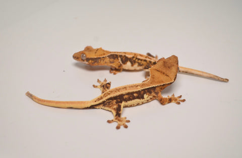 Baby Lilly White Crested Gecko Special