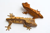 Baby Tailess Crested Geckos