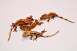 Baby High End Crested Gecko Special