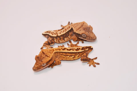 Baby High End Tailless Crested Gecko Special