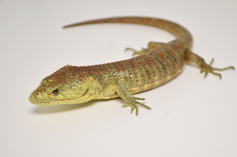 Red Lipped arboreal Alligator Lizard