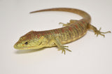 Baby Red Lipped Arboreal Alligator Lizard