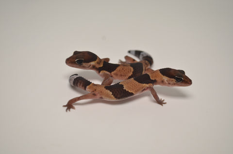 Baby Normal African Fat Tail Gecko