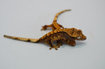 Baby Harlequin Crested Gecko Special