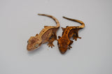 Baby Premium Crested Gecko Special