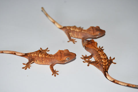 """Normal"" Baby Crested Gecko"