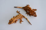 Baby High End Crested Gecko Special (Nipped Tail)