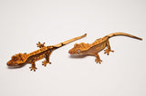 Baby Pinstripe Crested Gecko Special