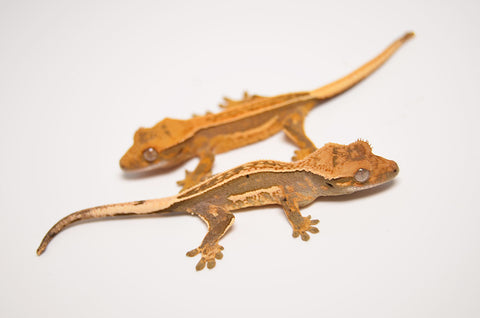 Baby High End Quadstripe Crested Gecko Special