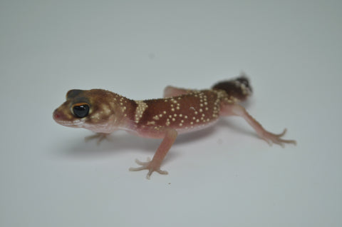 Superstripe line Quadstripe Crested Gecko