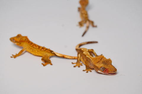 Nipped Tail Baby Crested Gecko