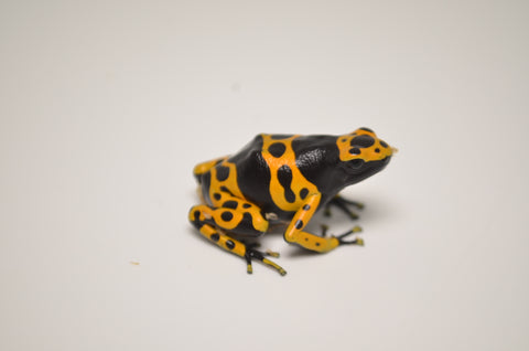 Bumble bee Poison Dart Frog