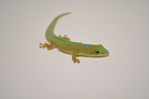 Robert Mertens Day Gecko