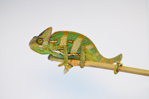Sub Adult Veiled Chameleons