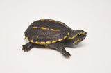 Baby Three Striped Mud Turtle