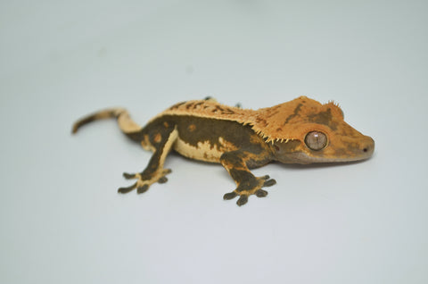 Striped Amelanistic African Fat Tail Gecko Baby
