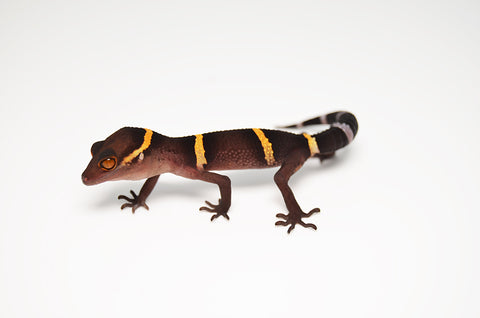 Baby Chinese Cave Gecko
