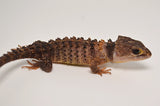 White Eyed Crocodile Skink