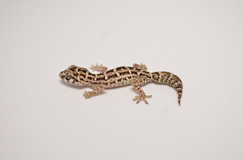 Carrot Tail Viper Gecko