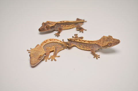 Baby Premium Tailless Crested Gecko Special